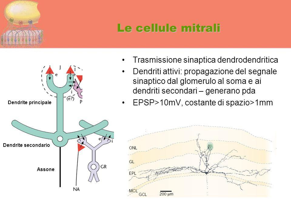 Le cellule mitrali Trasmissione sinaptica dendrodendritica