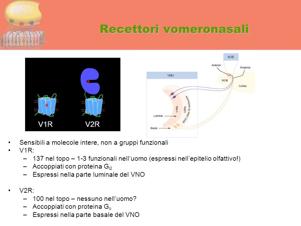 Recettori vomeronasali