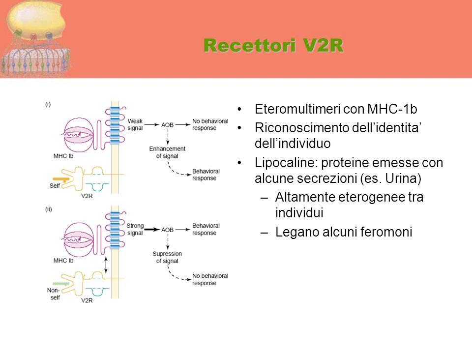 Recettori V2R Eteromultimeri con MHC-1b