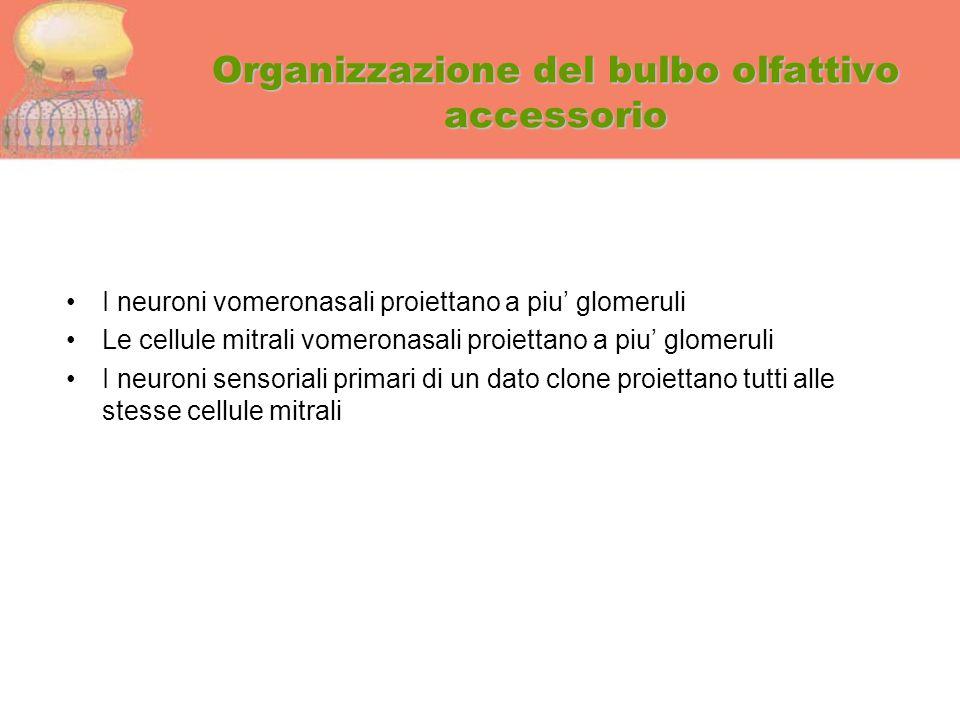 Organizzazione del bulbo olfattivo accessorio