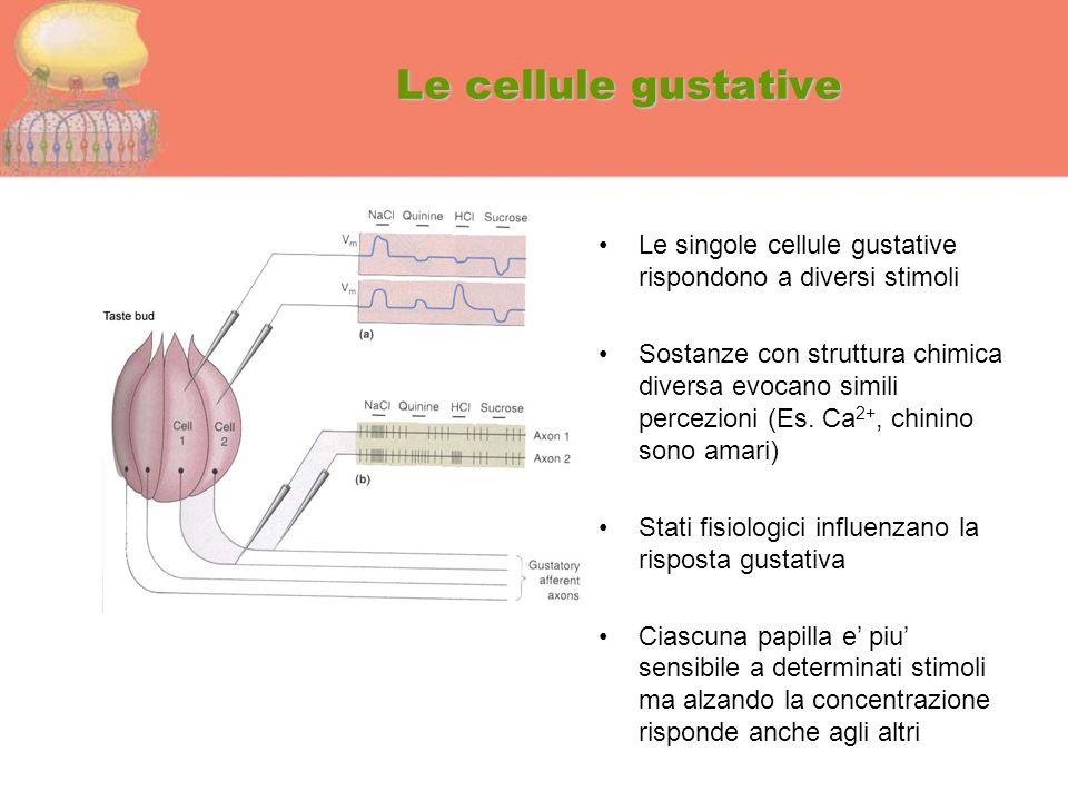 Le cellule gustative Le singole cellule gustative rispondono a diversi stimoli.