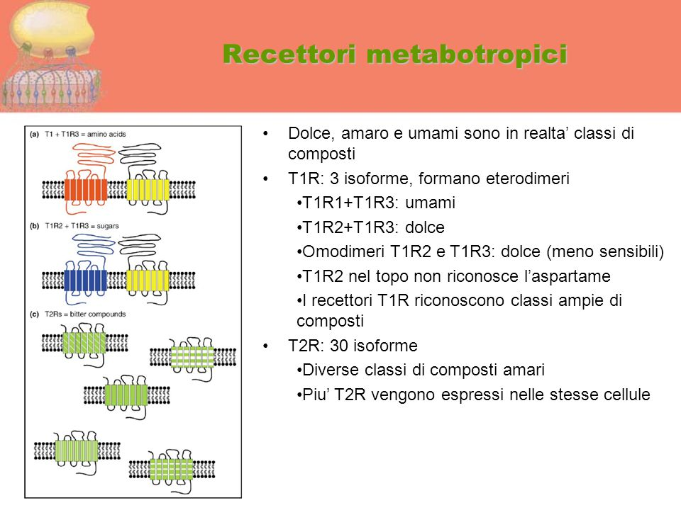 Recettori metabotropici