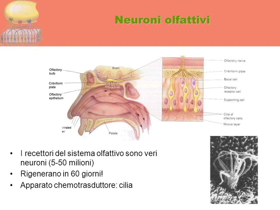 Neuroni olfattivi I recettori del sistema olfattivo sono veri neuroni (5-50 milioni) Rigenerano in 60 giorni!