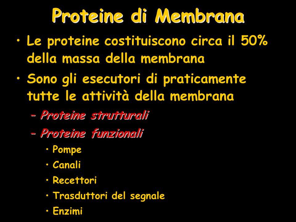 Proteine di Membrana Le proteine costituiscono circa il 50% della massa della membrana.