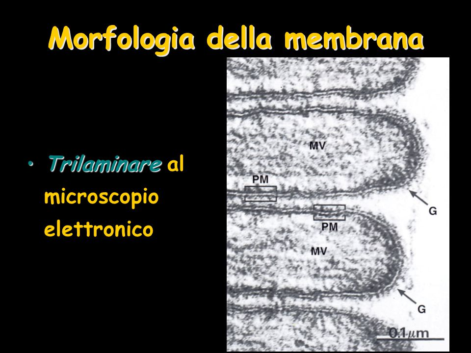 Morfologia della membrana