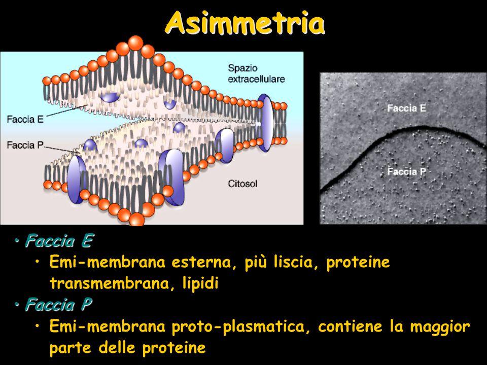 Asimmetria Faccia E. Emi-membrana esterna, più liscia, proteine transmembrana, lipidi. Faccia P.
