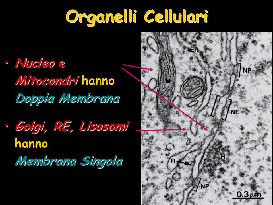 Organelli Cellulari Nucleo e Mitocondri hanno Doppia Membrana