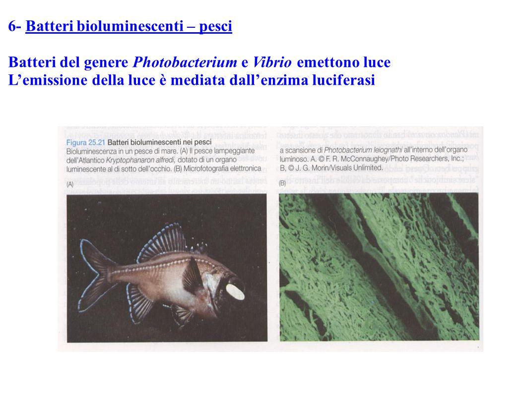 6- Batteri bioluminescenti – pesci