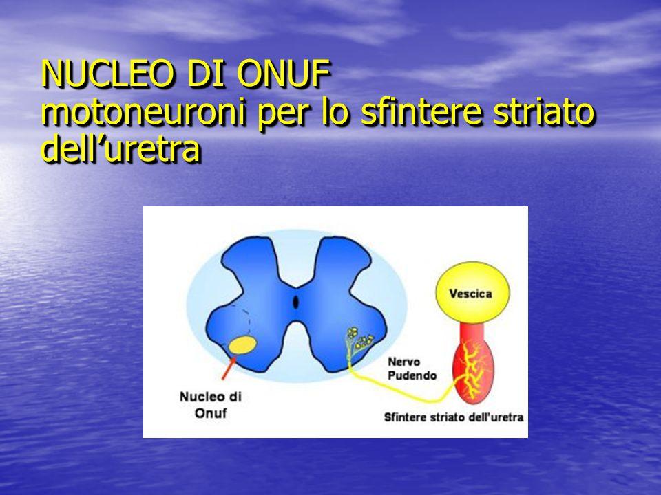 NUCLEO DI ONUF motoneuroni per lo sfintere striato dell'uretra
