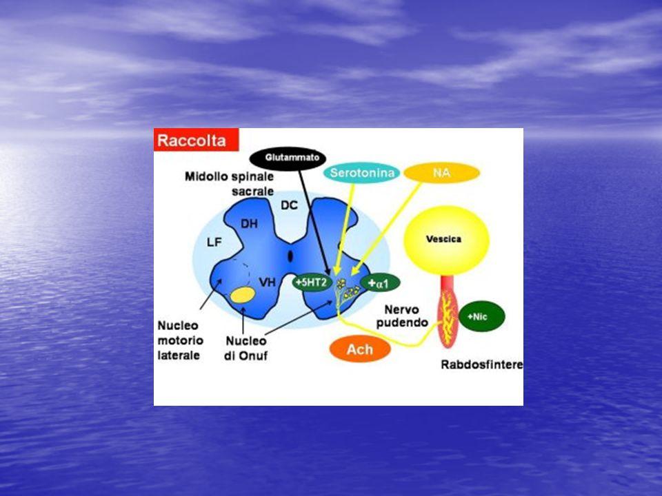 Questa diapositiva presenta il ruolo complementare del glutammato, il quale funge da interruttore per l'attivazione/disattivazione – ON/OFF – dello stato di contrazione (tono) dello sfintere durante la raccolta di urina – l'attivazione avviene in presenza di glutammato, ed il ruolo di 5HT e di NA(serotonina e noradrenalina) i quali fungono da reostato o regolatore di intensità.