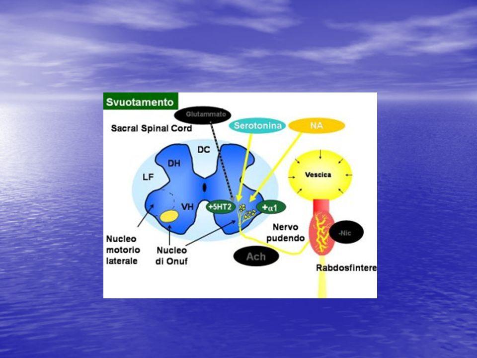Durante lo svuotamento, si verifica un'inibizione riflessa dei neuroni glutammatergici e la conseguente rimozione del glutammato fa cessare il rilascio di acetilcolina e quindi blocca la stimolazione nervosa dei recettori nicotinici dello sfintere esterno. I neurotrasmettitori 5HT e NA non esercitano più alcun effetto per cui lo sfintere può rilassarsi e permettere alla contrazione del detrusore di svuotare completamente la vescica.