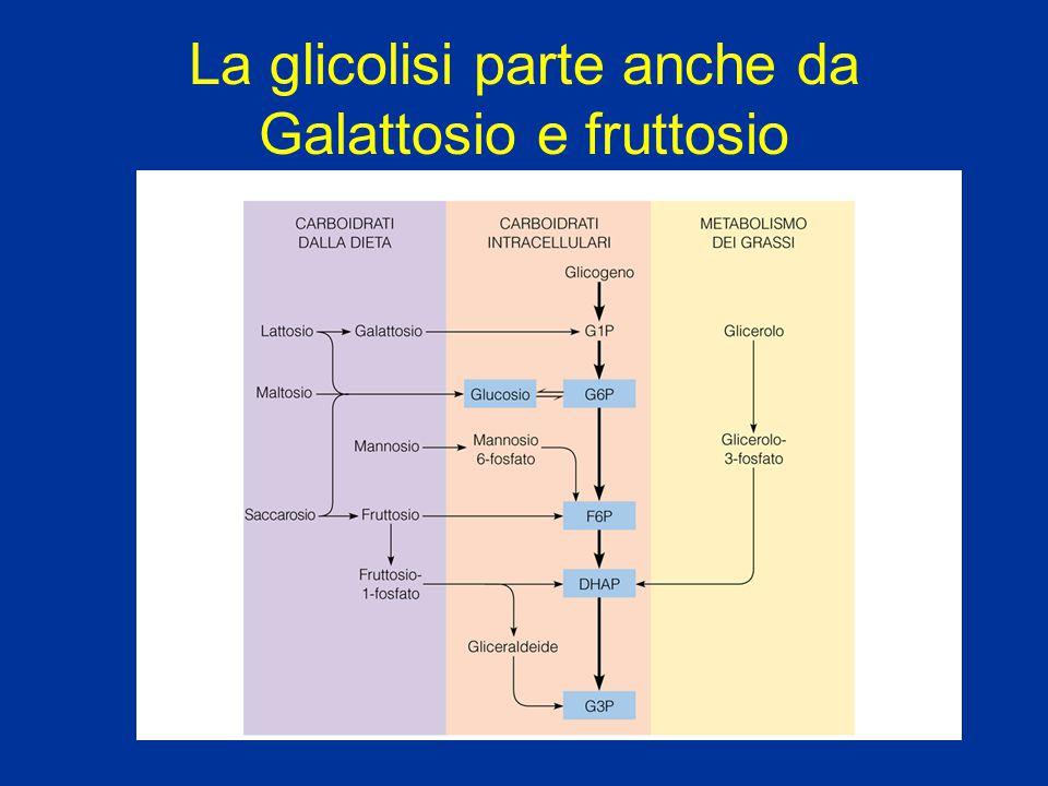 La glicolisi parte anche da Galattosio e fruttosio