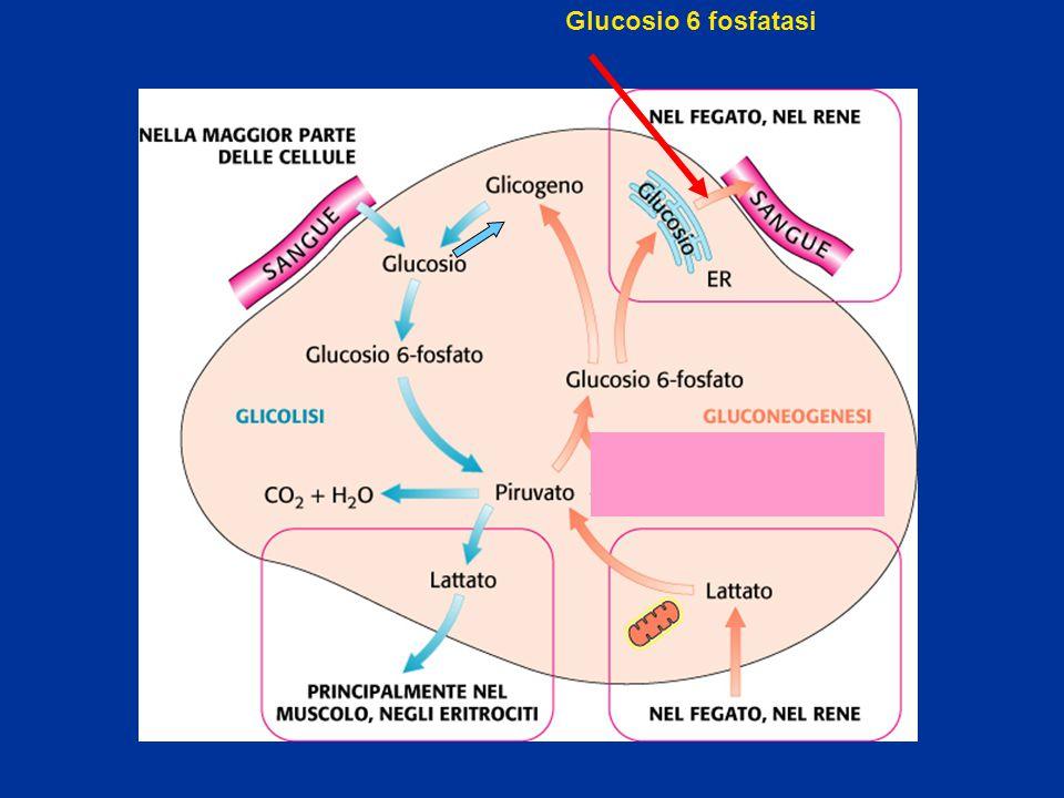 Glucosio 6 fosfatasi