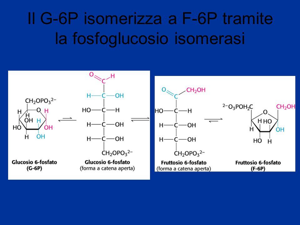Il G-6P isomerizza a F-6P tramite la fosfoglucosio isomerasi