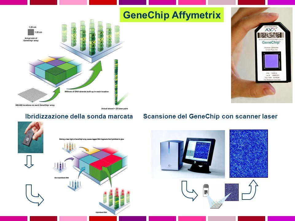 GeneChip Affymetrix Ibridizzazione della sonda marcata Scansione del GeneChip con scanner laser