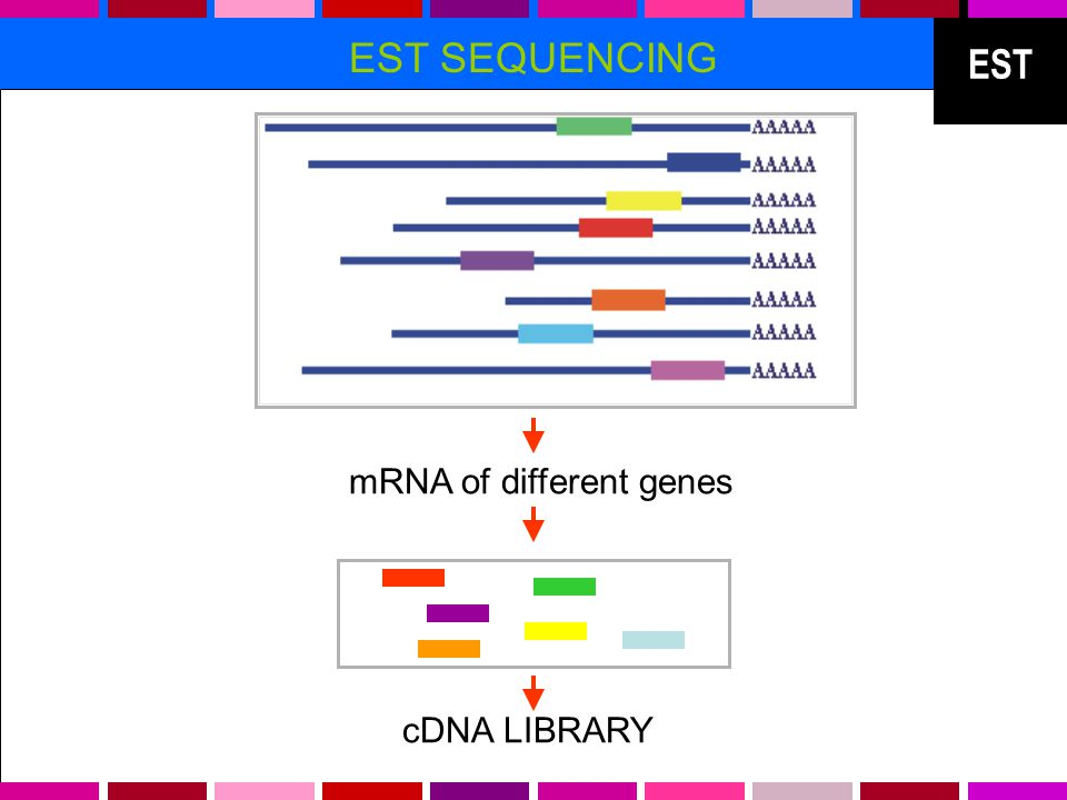 EST EST SEQUENCING mRNA of different genes cDNA LIBRARY