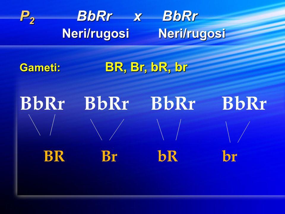 BbRr BbRr BbRr BbRr BR Br bR br P2 BbRr x BbRr Neri/rugosi Neri/rugosi