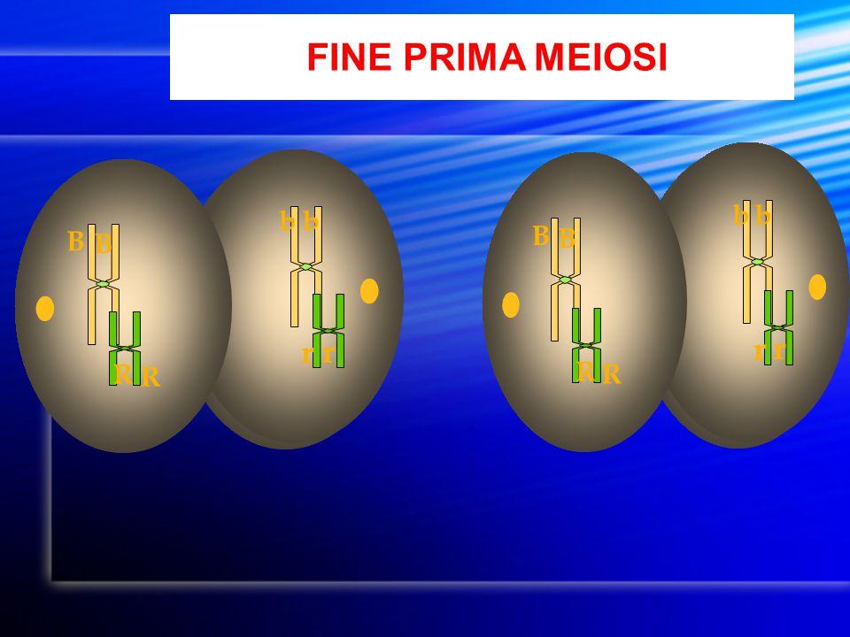 FINE PRIMA MEIOSI B R r b B R r b