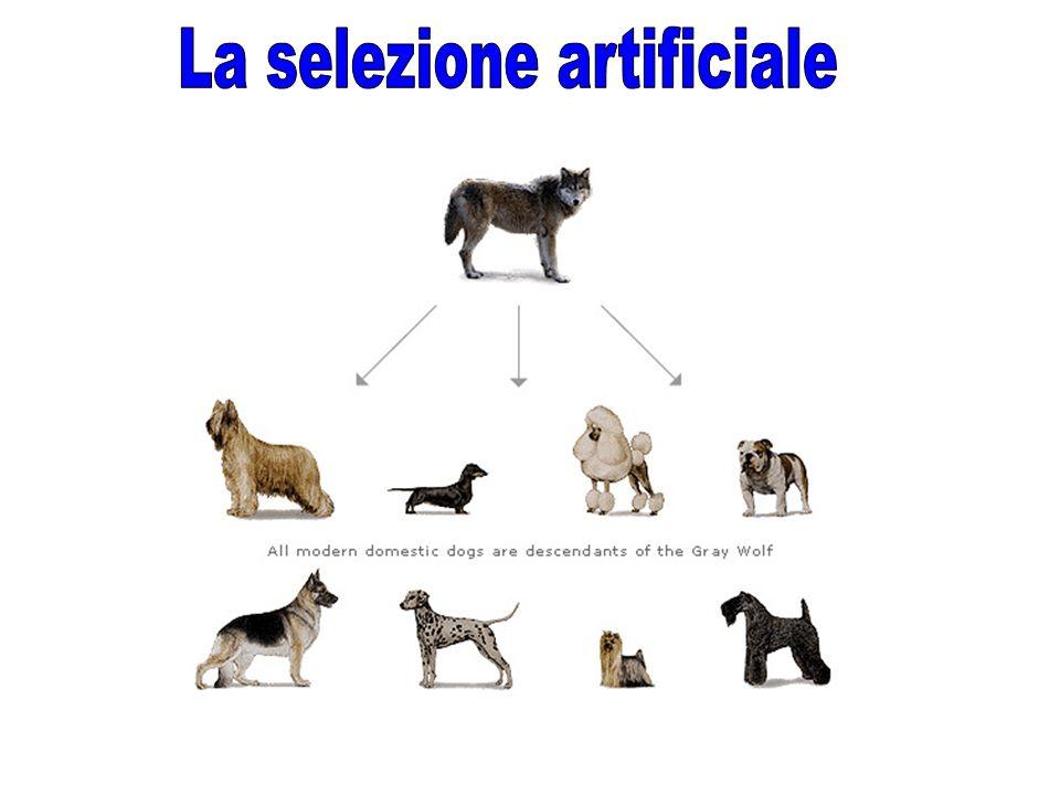 La selezione artificiale