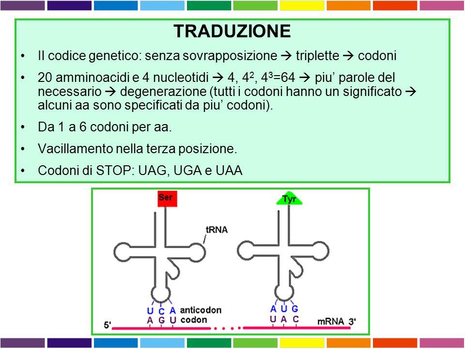 TRADUZIONE Il codice genetico: senza sovrapposizione  triplette  codoni.