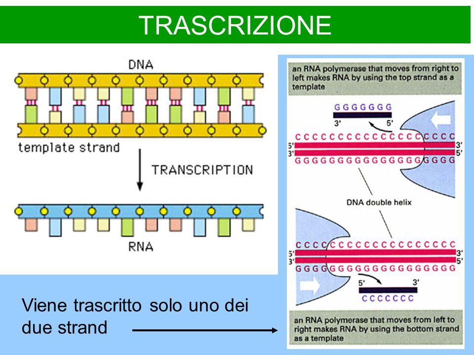 TRASCRIZIONE Viene trascritto solo uno dei due strand
