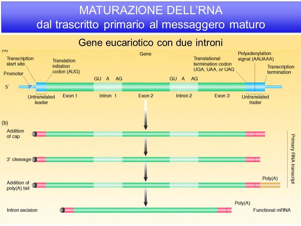 MATURAZIONE DELL'RNA dal trascritto primario al messaggero maturo