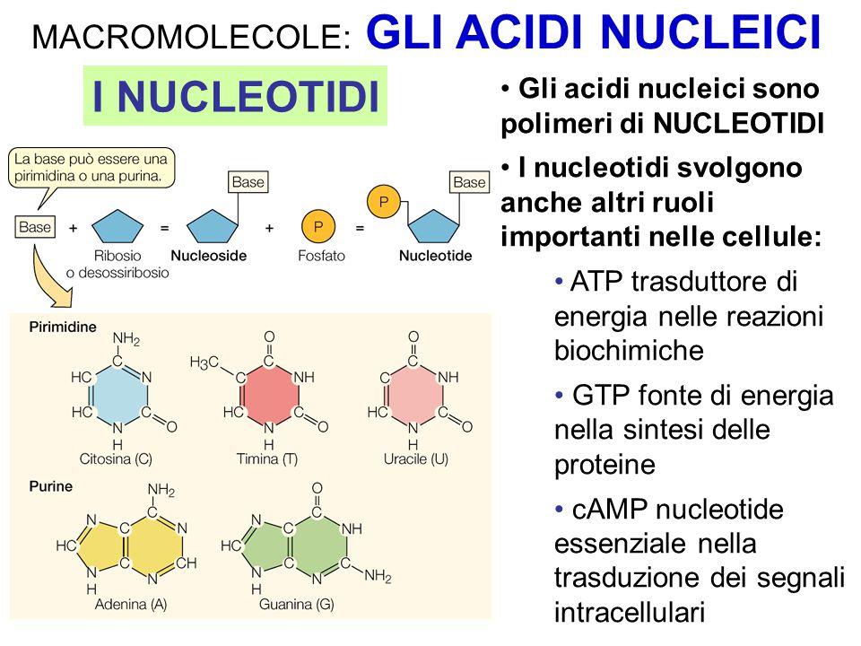 I NUCLEOTIDI MACROMOLECOLE: GLI ACIDI NUCLEICI