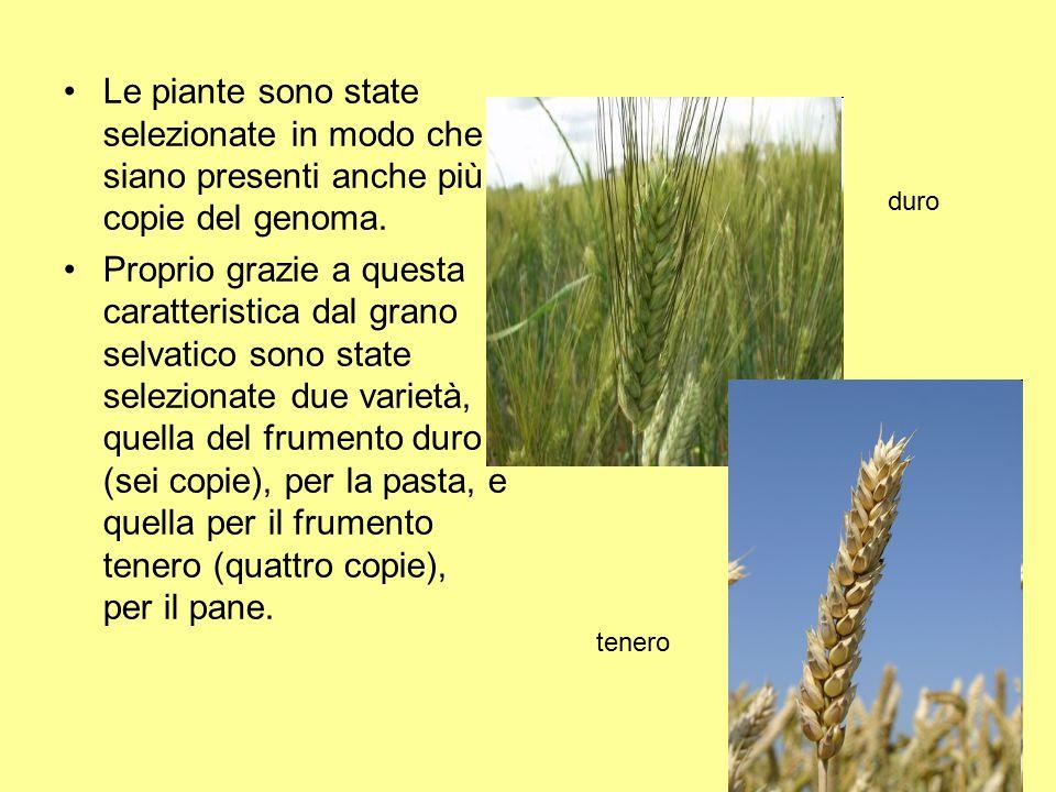 Le piante sono state selezionate in modo che siano presenti anche più copie del genoma.