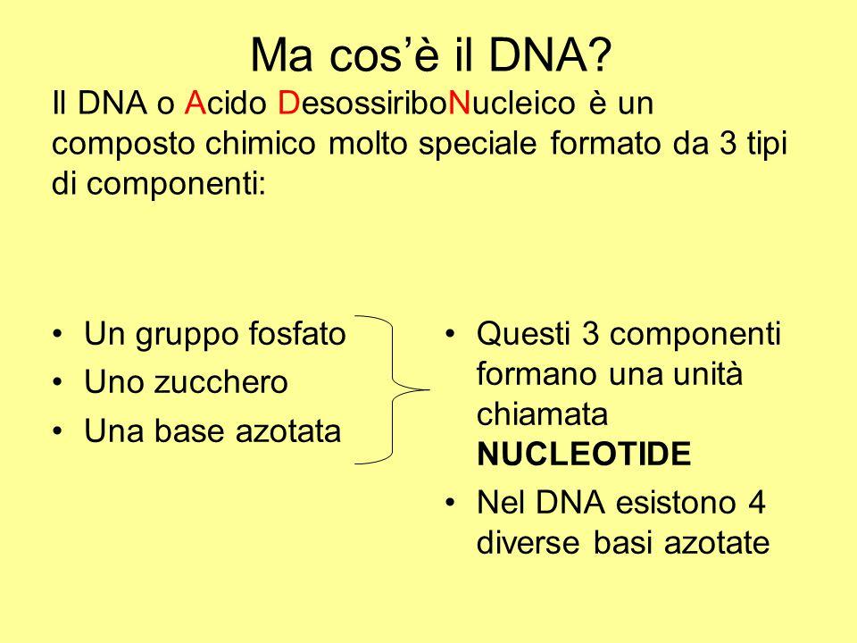 Ma cos'è il DNA Il DNA o Acido DesossiriboNucleico è un composto chimico molto speciale formato da 3 tipi di componenti: