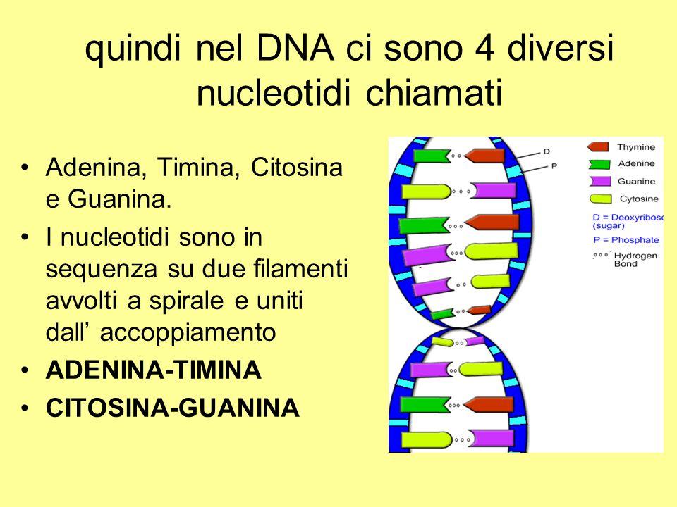 quindi nel DNA ci sono 4 diversi nucleotidi chiamati