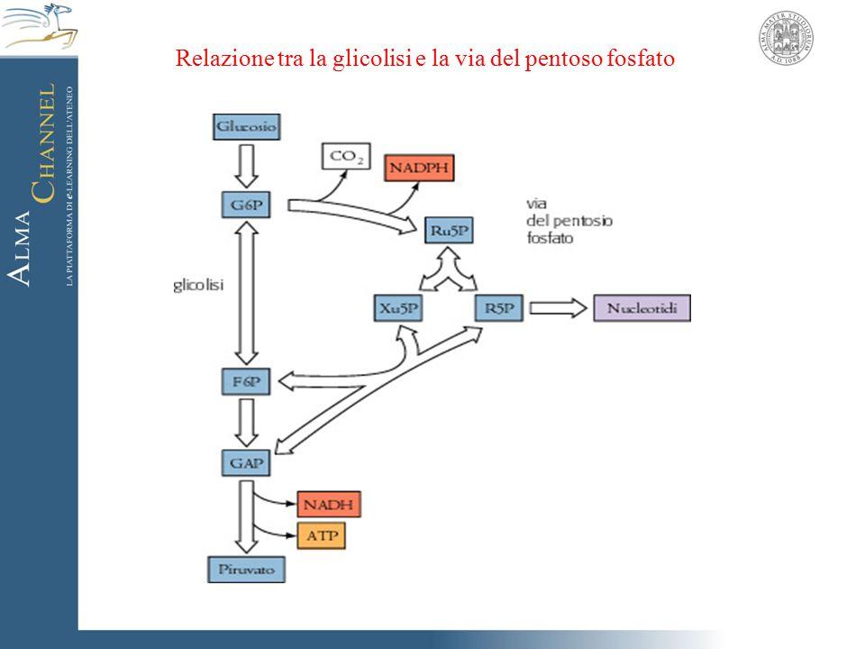 Relazione tra la glicolisi e la via del pentoso fosfato