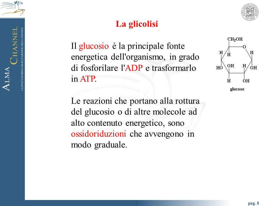 La glicolisi Il glucosio è la principale fonte energetica dell organismo, in grado di fosforilare l ADP e trasformarlo in ATP.