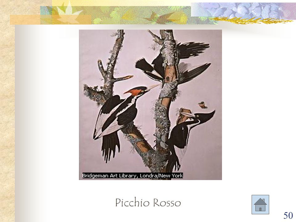 Picchio Rosso