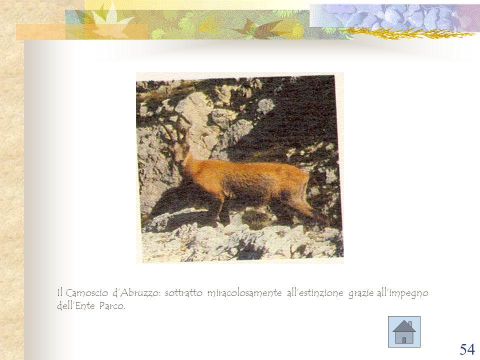 Il Camoscio d'Abruzzo: sottratto miracolosamente all'estinzione grazie all'impegno dell'Ente Parco.