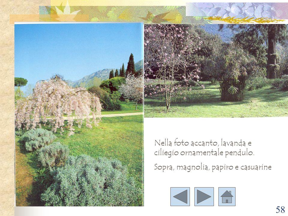 Nella foto accanto, lavanda e ciliegio ornamentale pendulo.