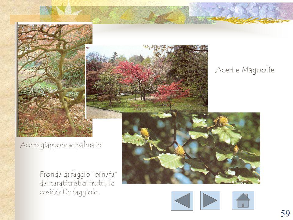 Aceri e Magnolie Acero giapponese palmato