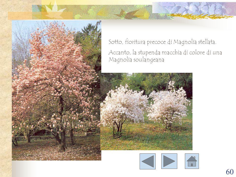 Sotto, fioritura precoce di Magnolia stellata.