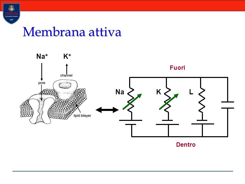 Membrana attiva Na+ K+ Na K L Dentro Fuori