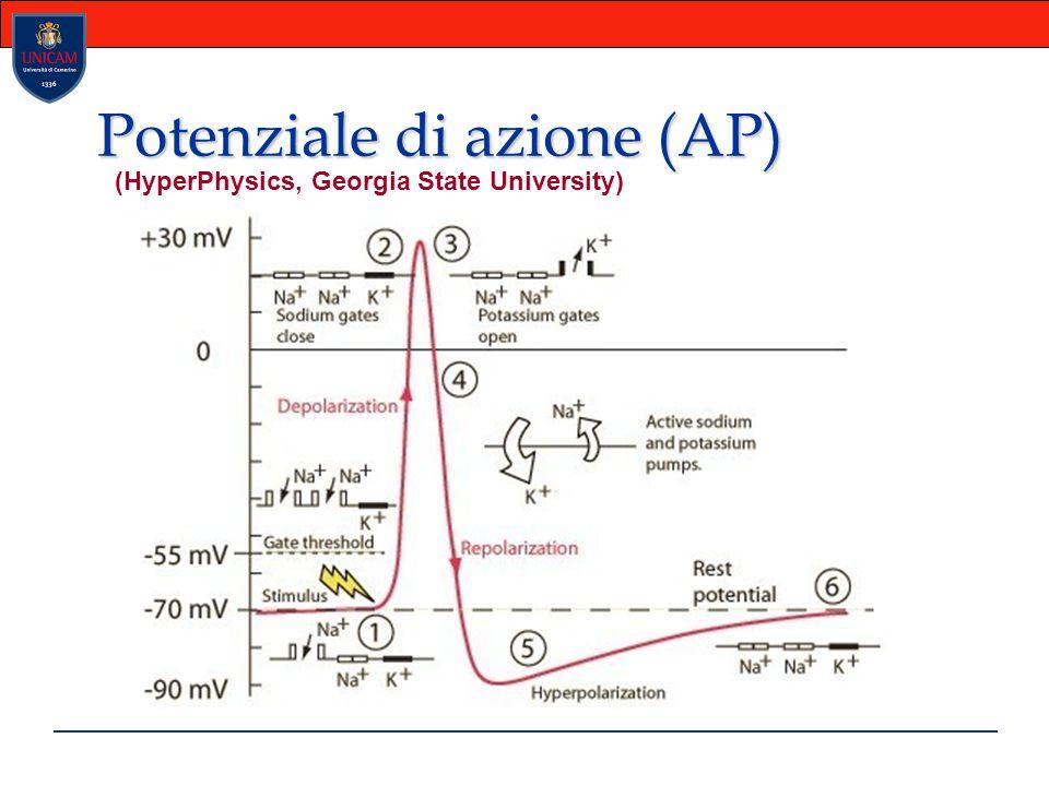 Potenziale di azione (AP)