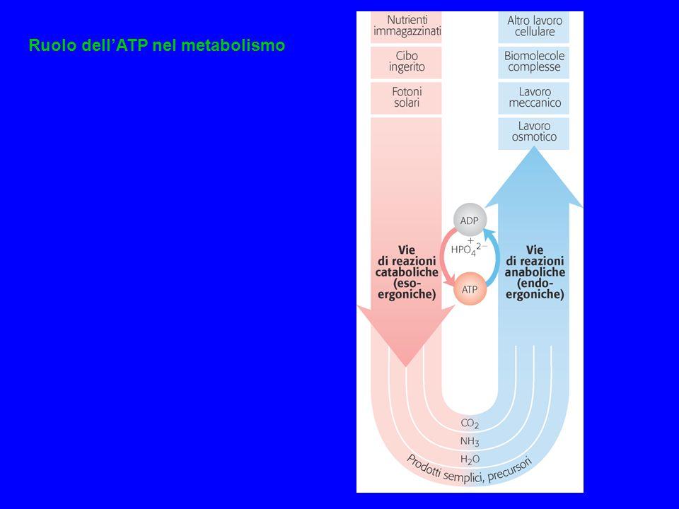 Ruolo dell'ATP nel metabolismo