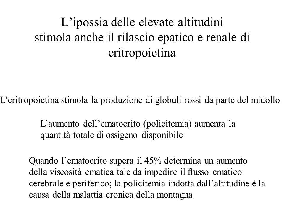 L'ipossia delle elevate altitudini stimola anche il rilascio epatico e renale di eritropoietina