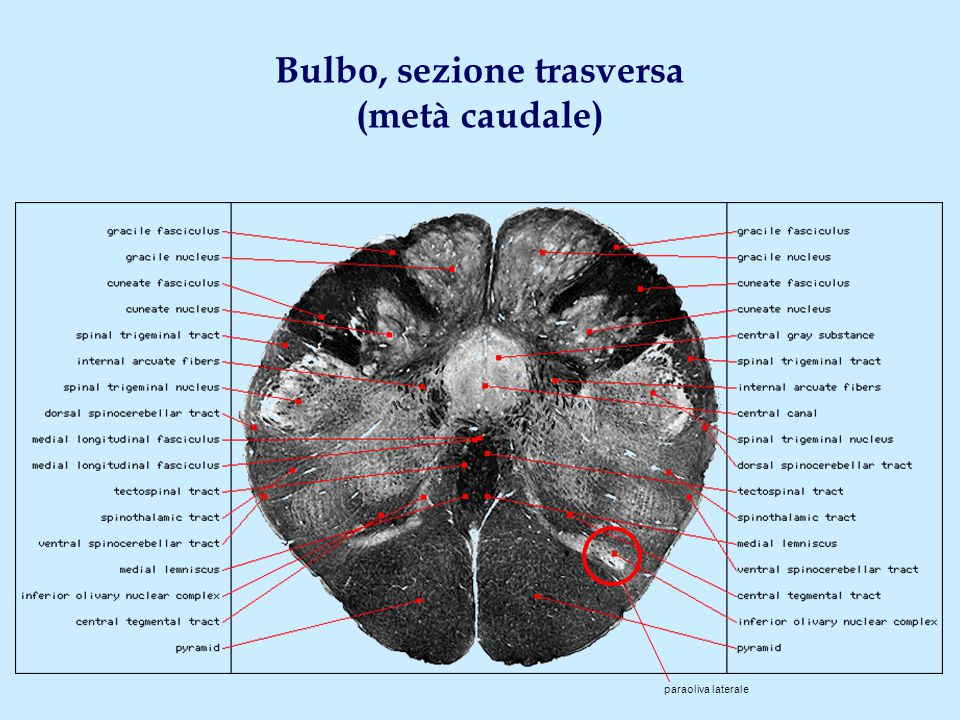 Bulbo, sezione trasversa (metà caudale)