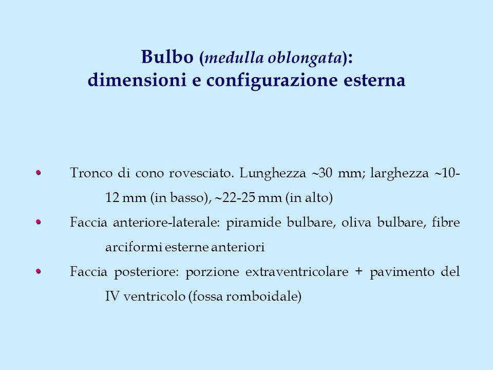 Bulbo (medulla oblongata): dimensioni e configurazione esterna