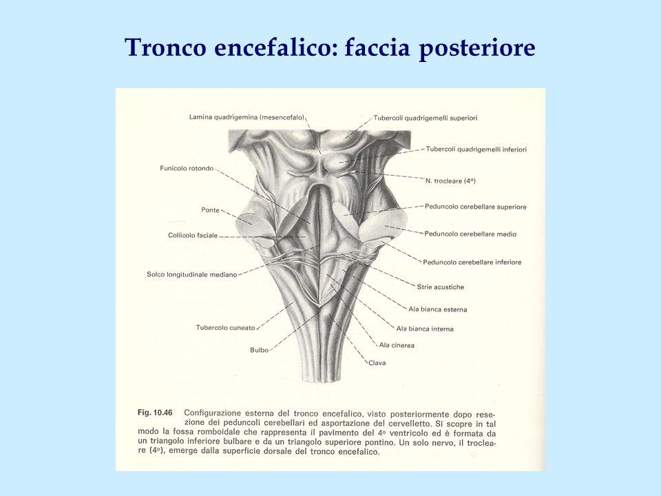 Tronco encefalico: faccia posteriore