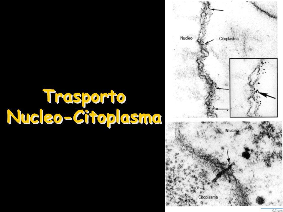 Trasporto Nucleo-Citoplasma