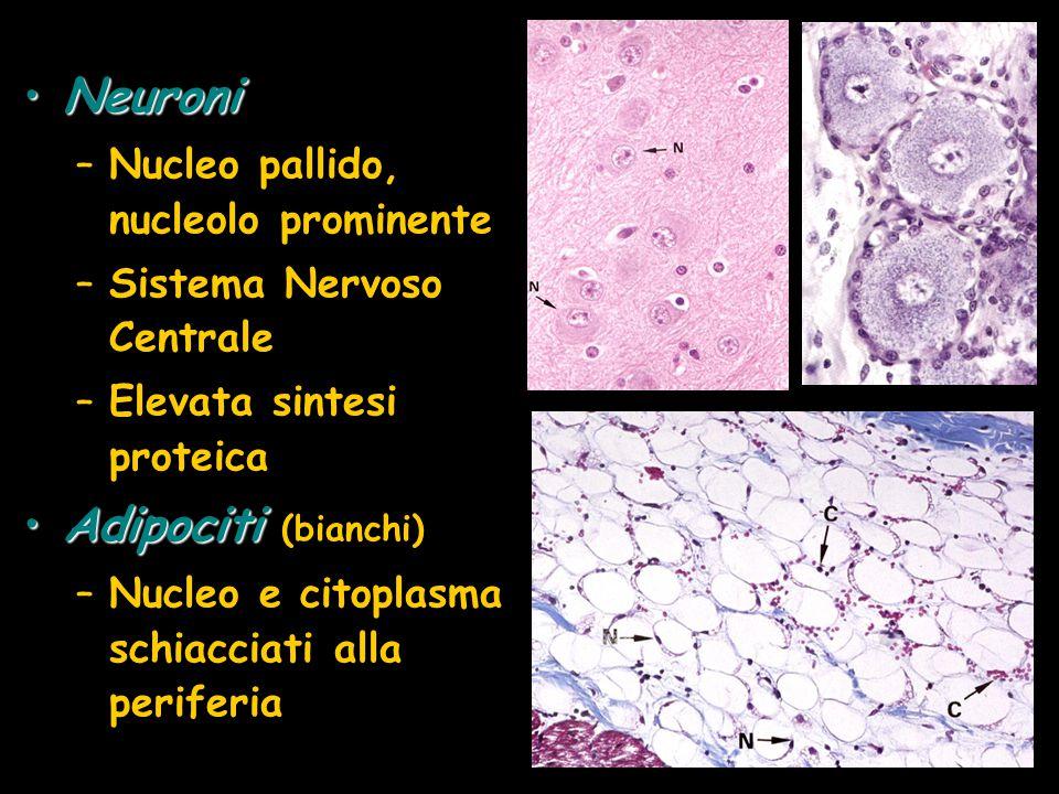 Neuroni Adipociti (bianchi) Nucleo pallido, nucleolo prominente