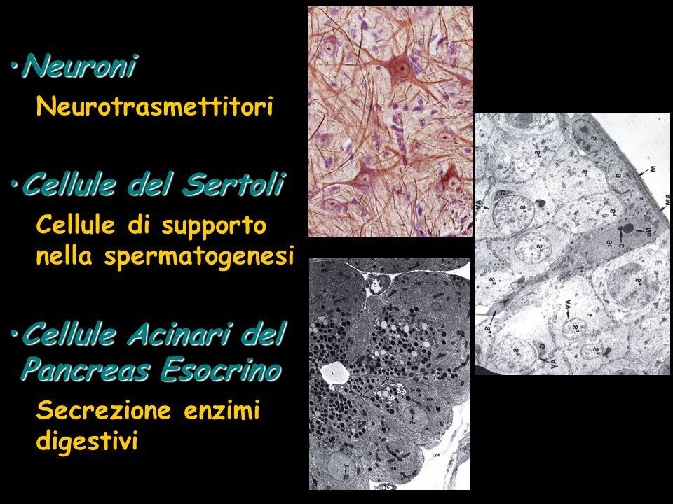 Cellule Acinari del Pancreas Esocrino
