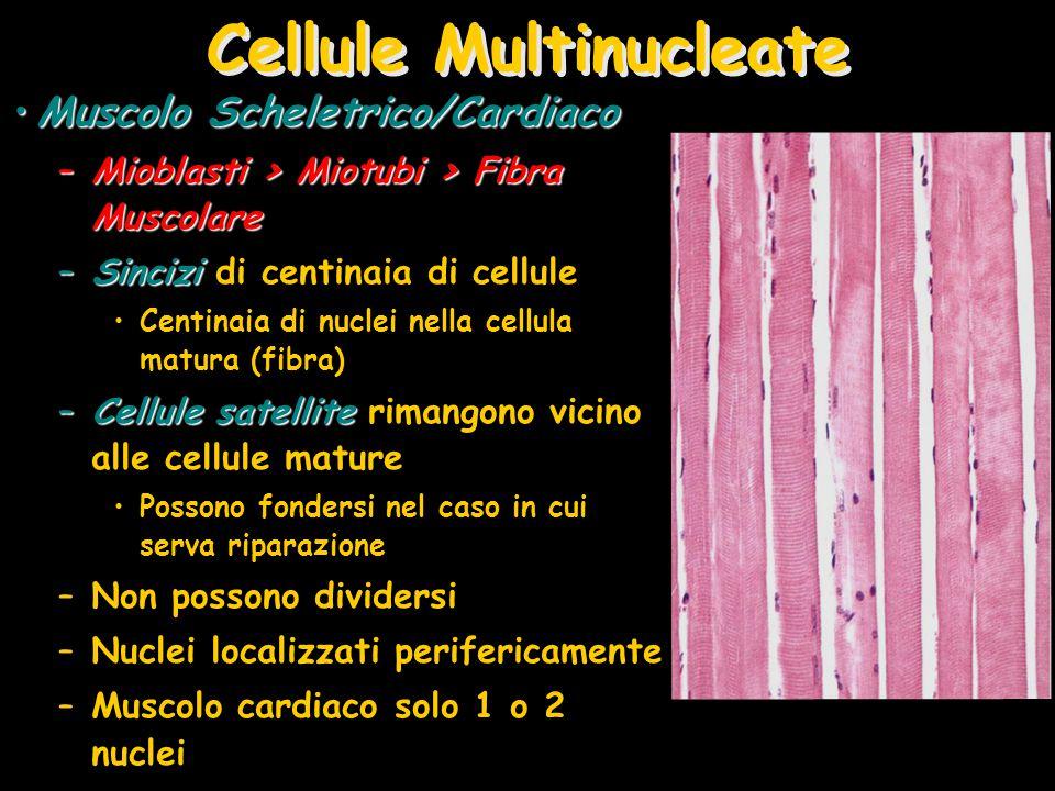 Cellule Multinucleate