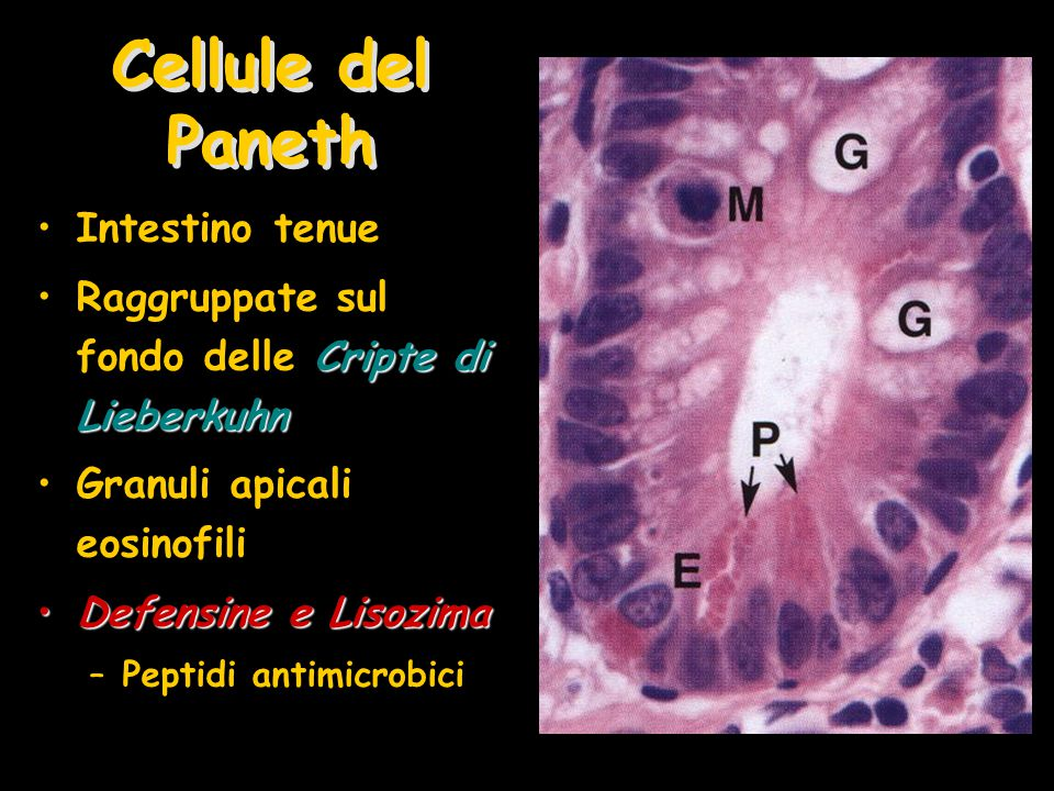 Cellule del Paneth Intestino tenue