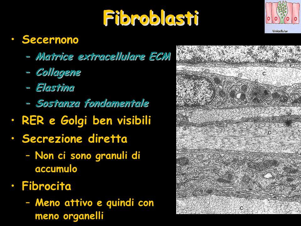 Fibroblasti Secernono RER e Golgi ben visibili Secrezione diretta